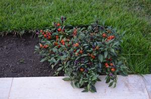 Primeiro plantei na hortinha esta pimenteira, contra mau-olhado e pra espantar formiga.